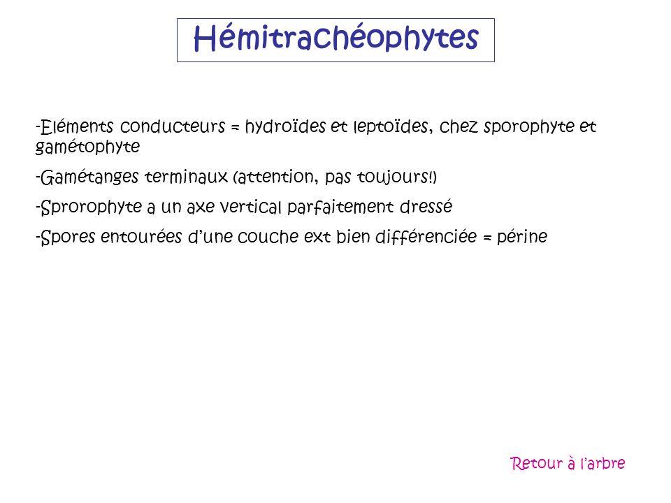 Hémitrachéophytes Eléments conducteurs = hydroïdes et leptoïdes, chez sporophyte et gamétophyte. Gamétanges terminaux (attention, pas toujours!)