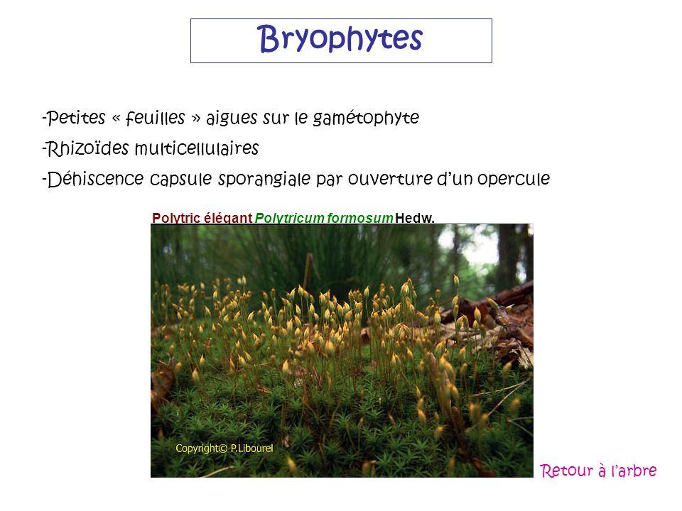 Bryophytes Petites « feuilles » aigues sur le gamétophyte