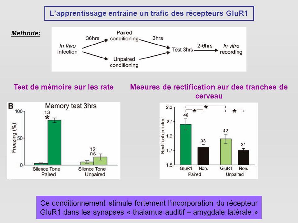 L'apprentissage entraîne un trafic des récepteurs GluR1