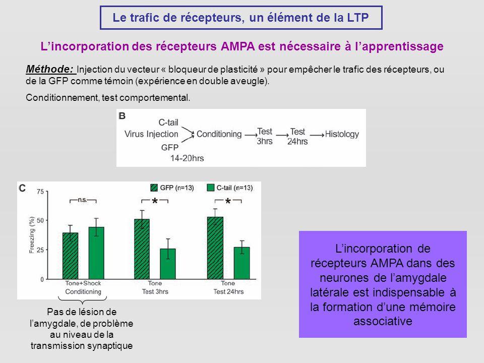 Le trafic de récepteurs, un élément de la LTP