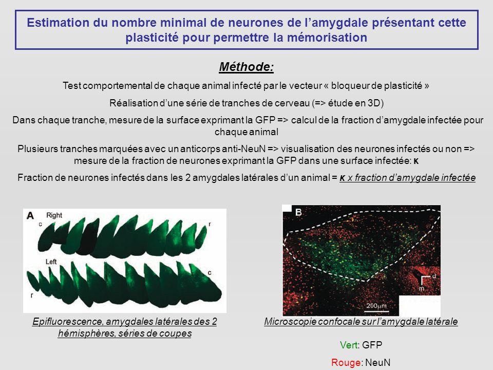 Estimation du nombre minimal de neurones de l'amygdale présentant cette plasticité pour permettre la mémorisation
