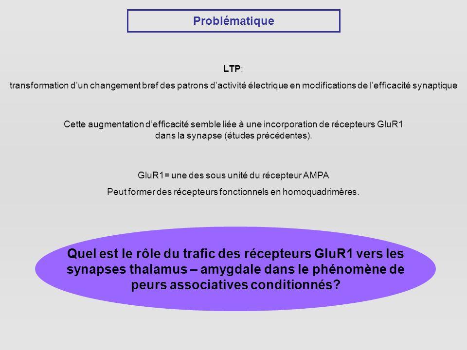 Problématique LTP: transformation d'un changement bref des patrons d'activité électrique en modifications de l'efficacité synaptique.