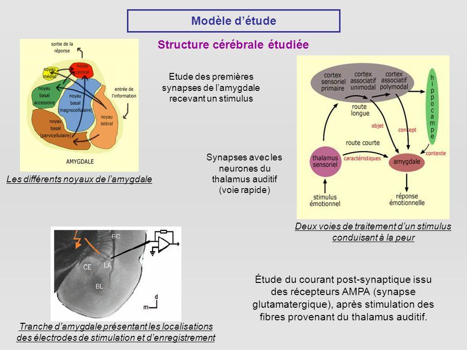 Structure cérébrale étudiée