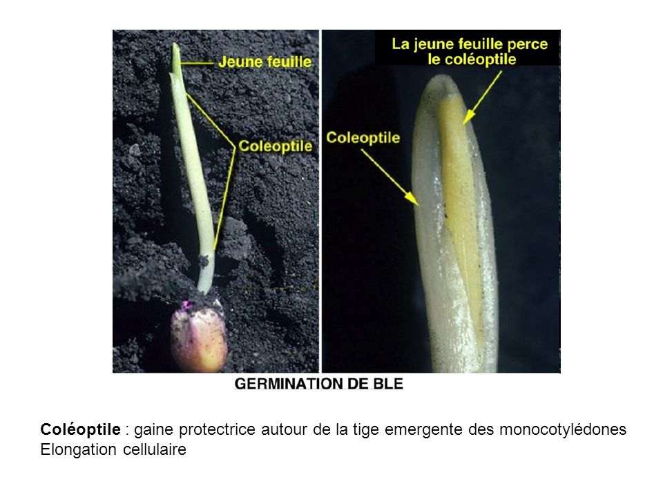 Coléoptile : gaine protectrice autour de la tige emergente des monocotylédones