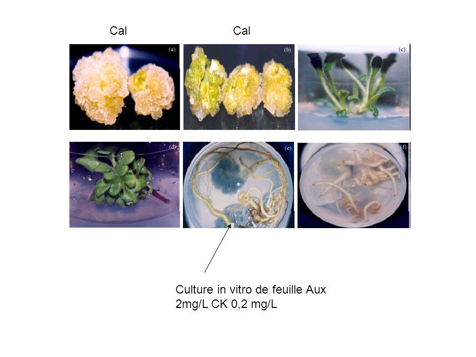 Cal Cal Culture in vitro de feuille Aux 2mg/L CK 0,2 mg/L