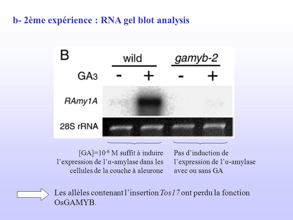 b- 2ème expérience : RNA gel blot analysis
