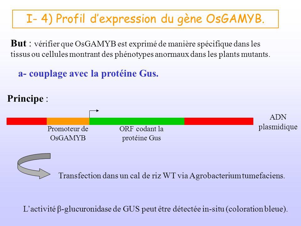 I- 4) Profil d'expression du gène OsGAMYB.