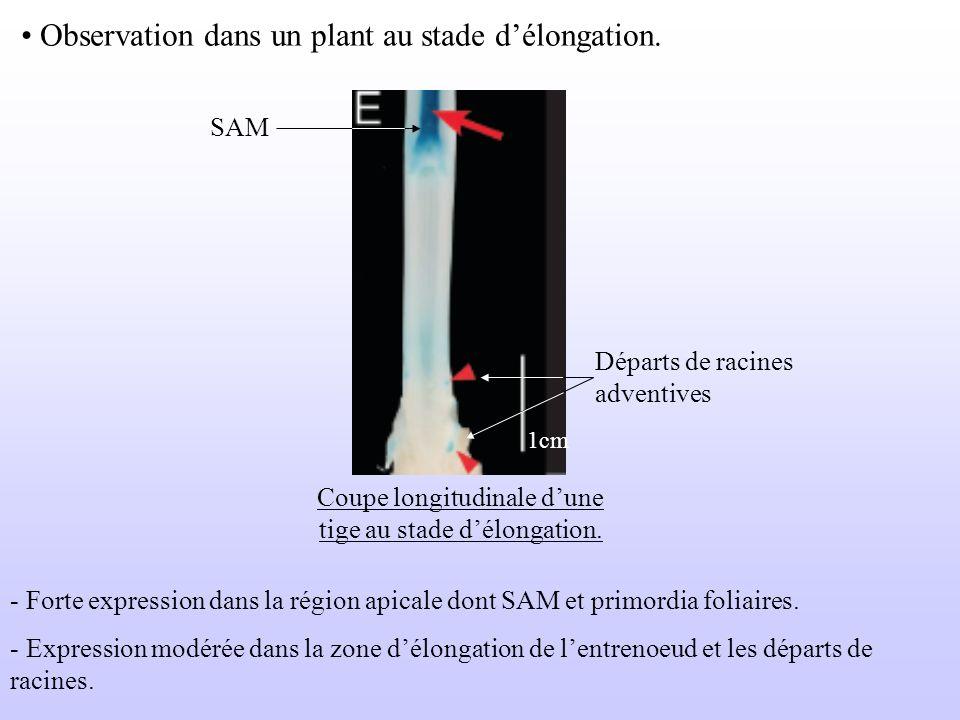 Coupe longitudinale d'une tige au stade d'élongation.