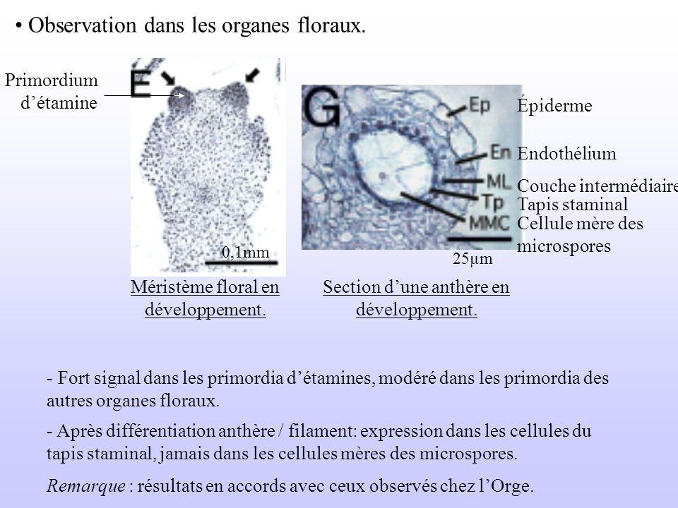 Observation dans les organes floraux.