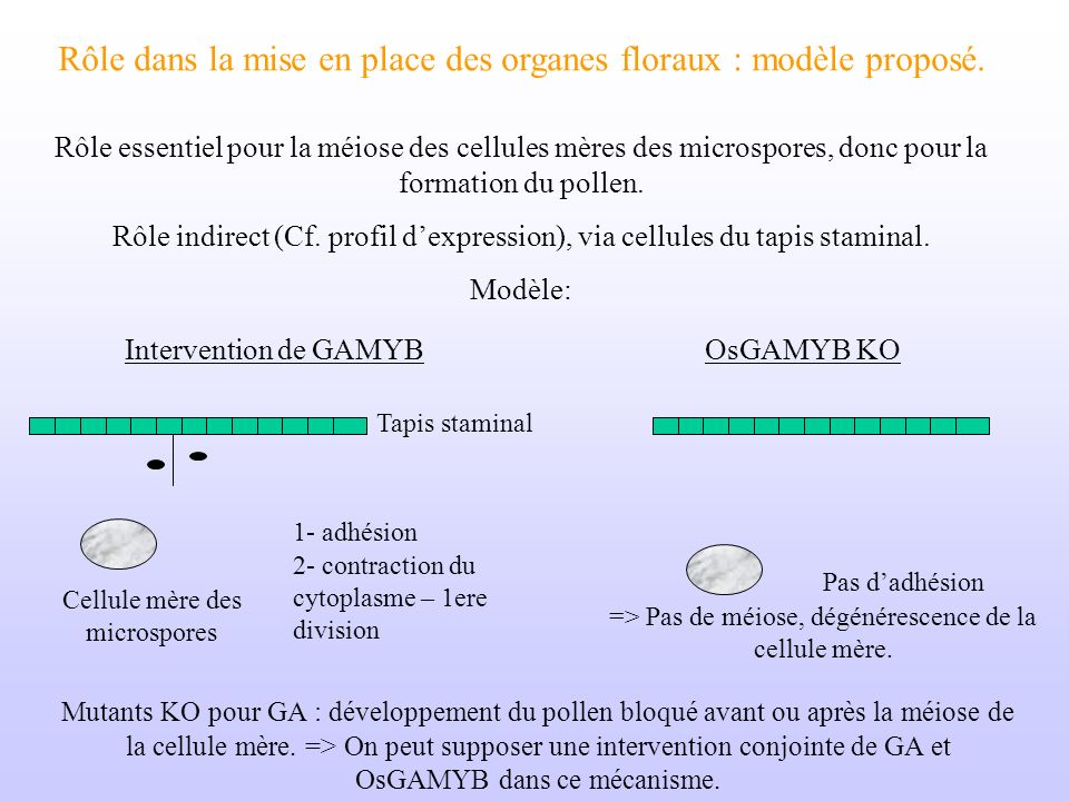 Rôle dans la mise en place des organes floraux : modèle proposé.
