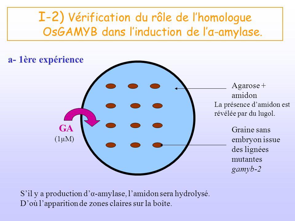 I-2) Vérification du rôle de l'homologue OsGAMYB dans l'induction de l'α-amylase.