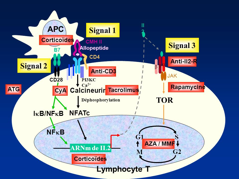 APC Signal 1 Signal 3 Signal 2 TOR Lymphocyte T G1 S G2 M Calcineurine