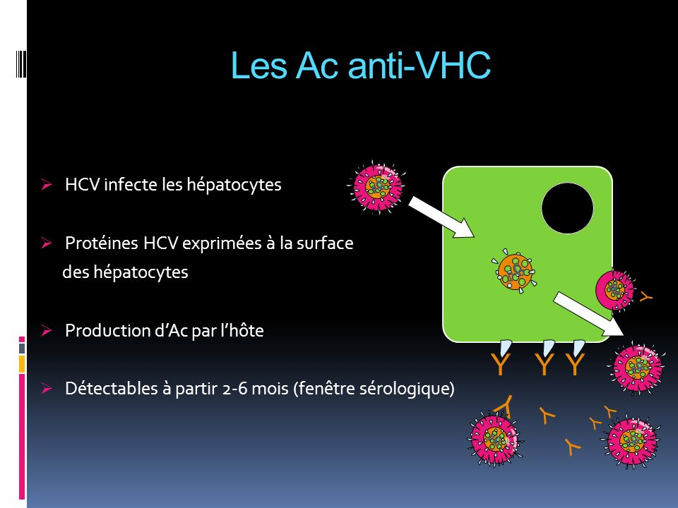 Les Ac anti-VHC Y Y Y Y Y Y HCV infecte les hépatocytes