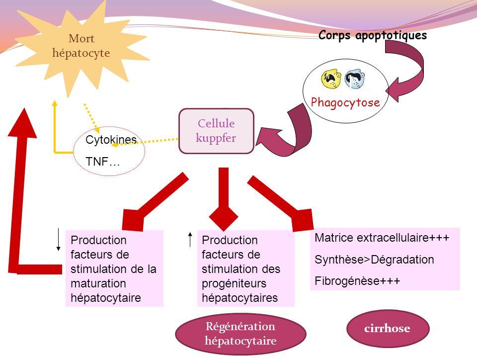 Régénération hépatocytaire