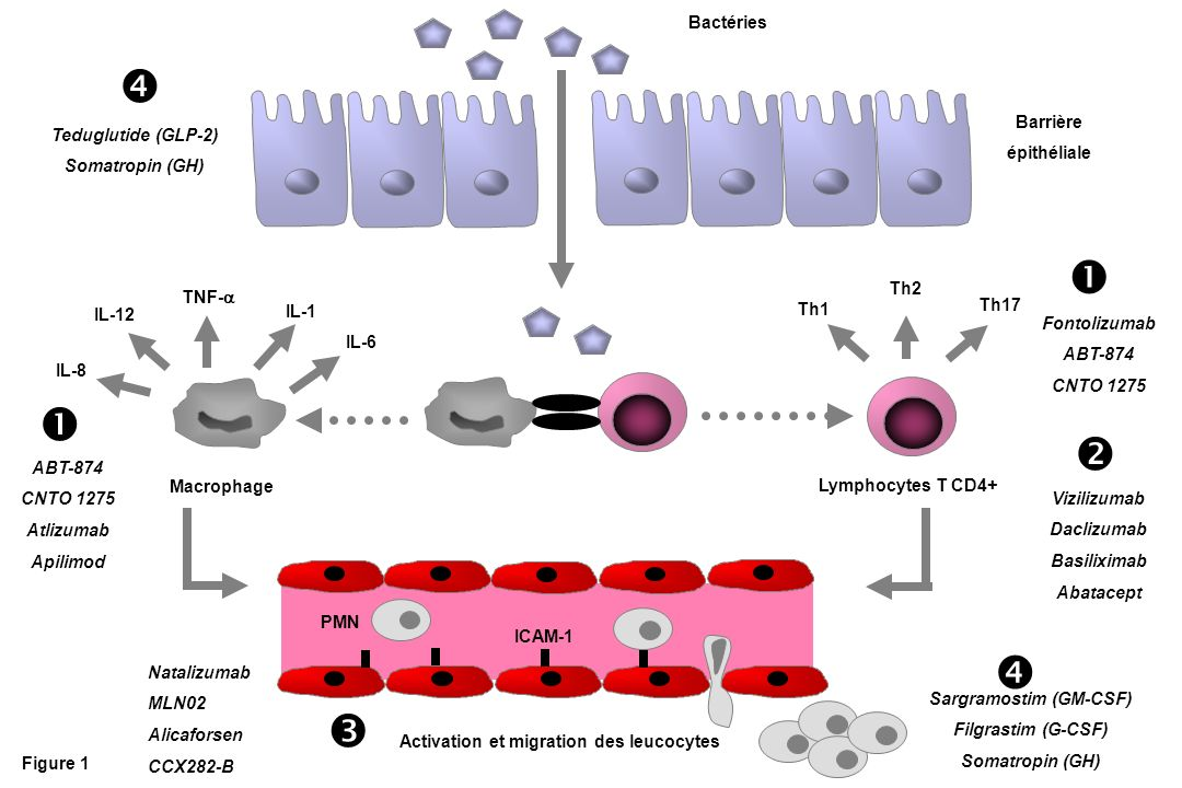 Sargramostim (GM-CSF) Activation et migration des leucocytes