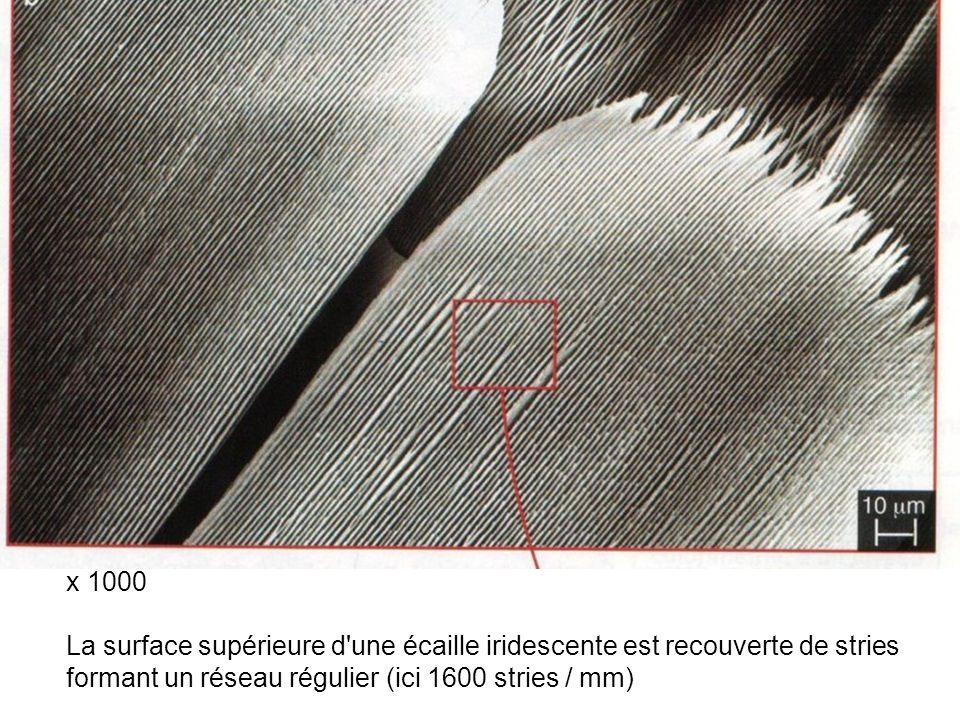 x 1000 La surface supérieure d une écaille iridescente est recouverte de stries.