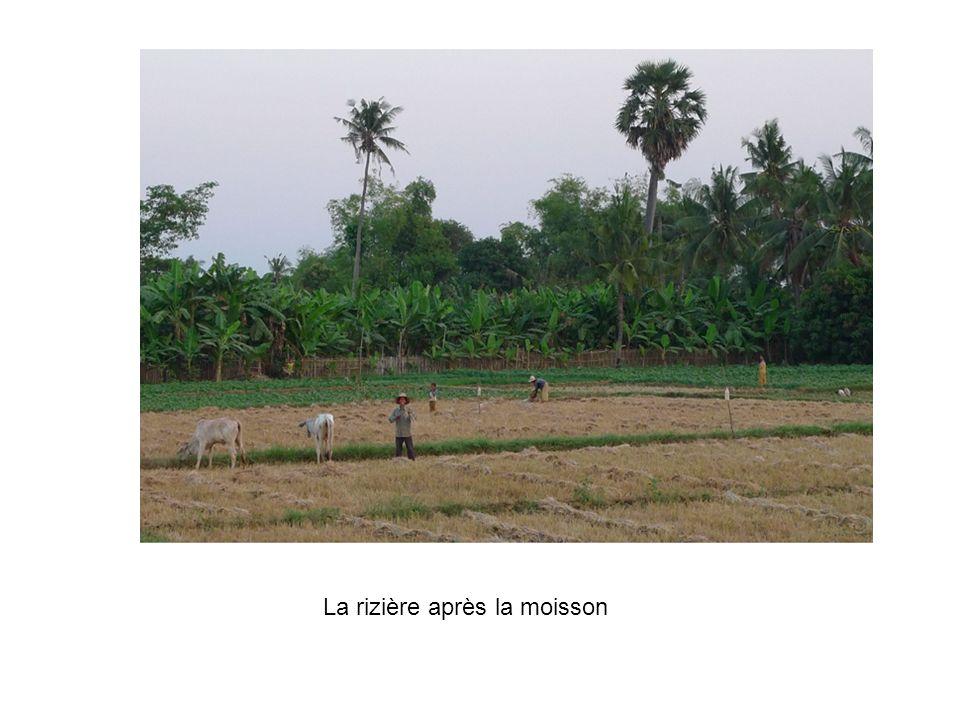 La rizière après la moisson