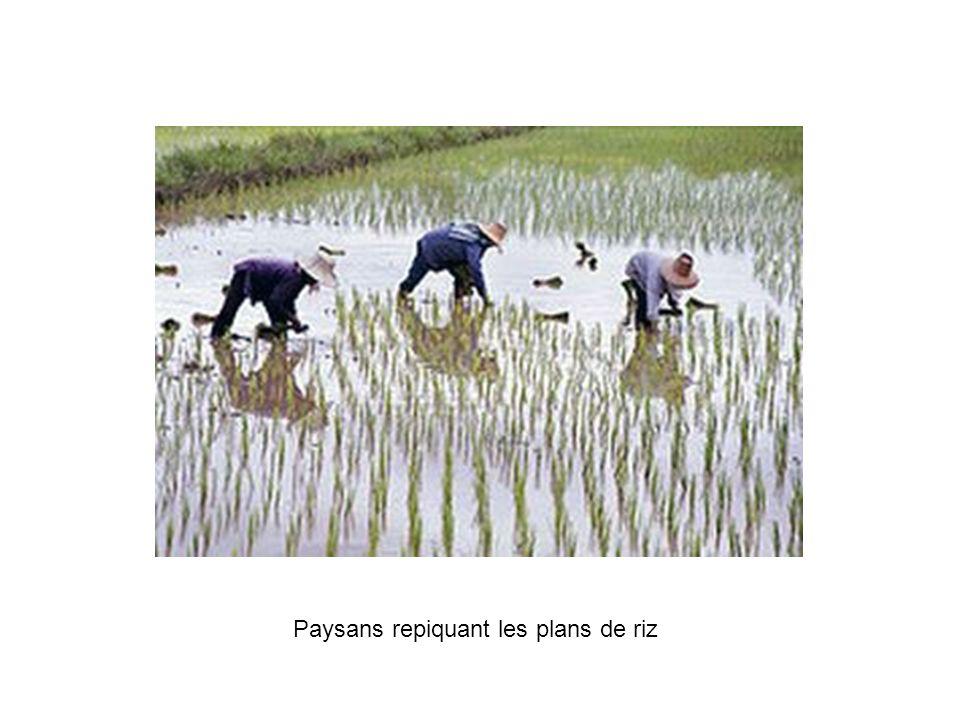 Paysans repiquant les plans de riz