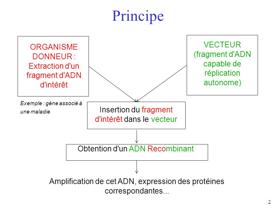 Principe VECTEUR. (fragment d ADN capable de réplication autonome) ORGANISME DONNEUR : Extraction d un fragment d ADN d intérêt.