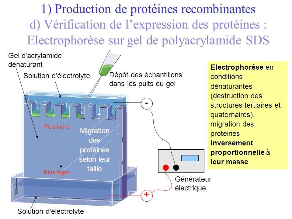 Migration des protéines selon leur taille