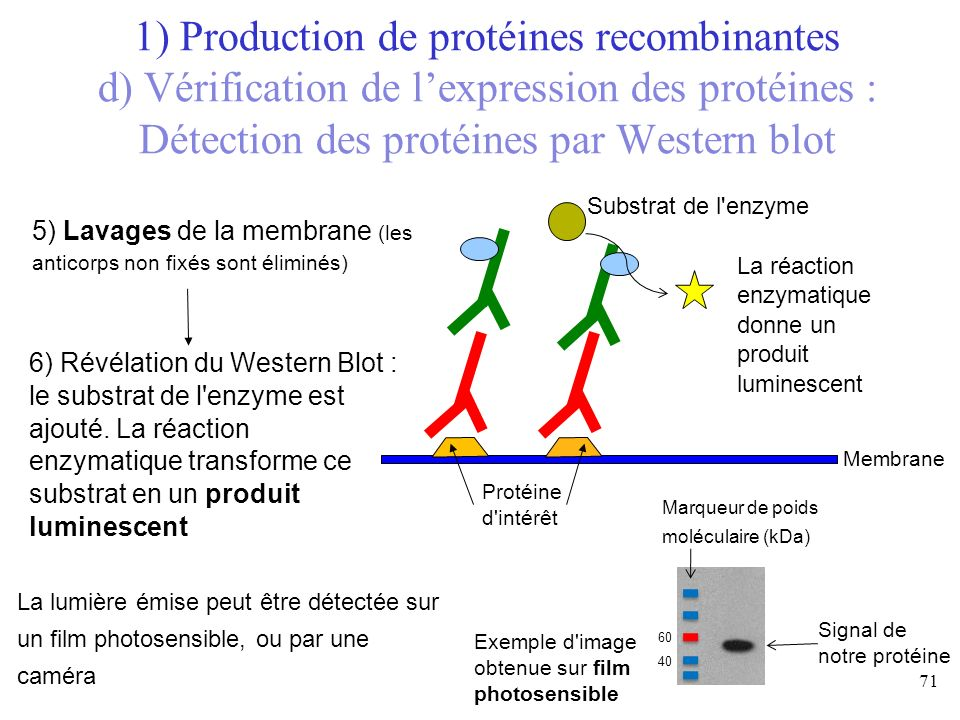 1) Production de protéines recombinantes d) Vérification de l'expression des protéines : Détection des protéines par Western blot