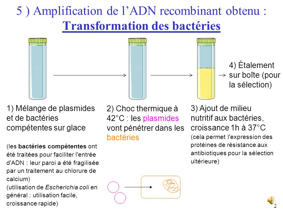 5 ) Amplification de l'ADN recombinant obtenu : Transformation des bactéries