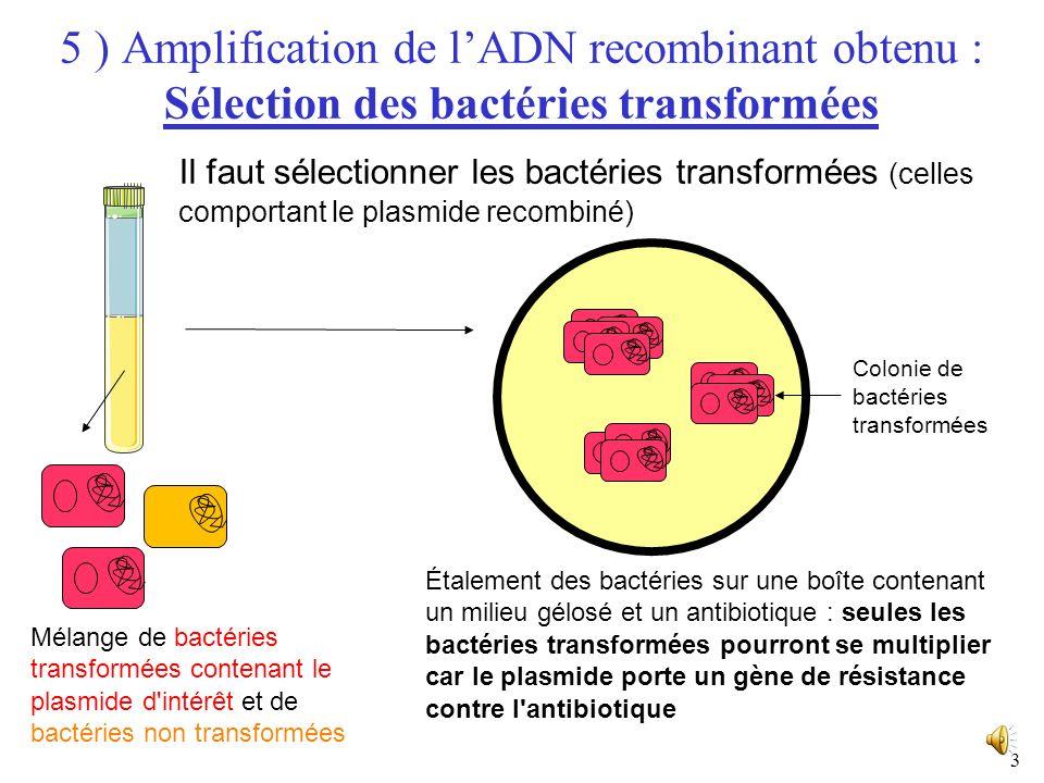 5 ) Amplification de l'ADN recombinant obtenu : Sélection des bactéries transformées