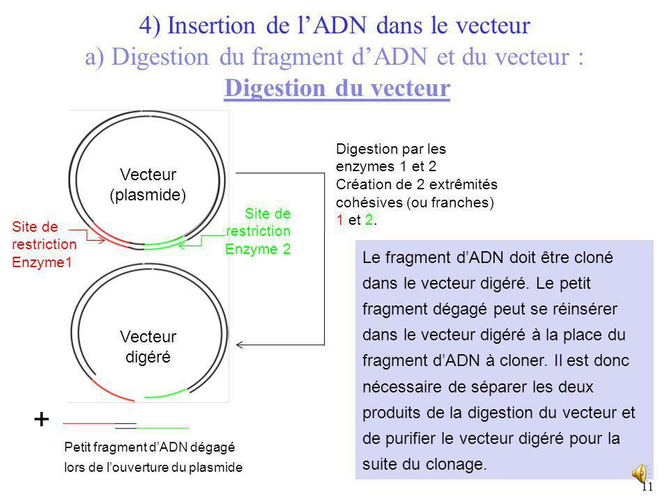 4) Insertion de l'ADN dans le vecteur a) Digestion du fragment d'ADN et du vecteur : Digestion du vecteur