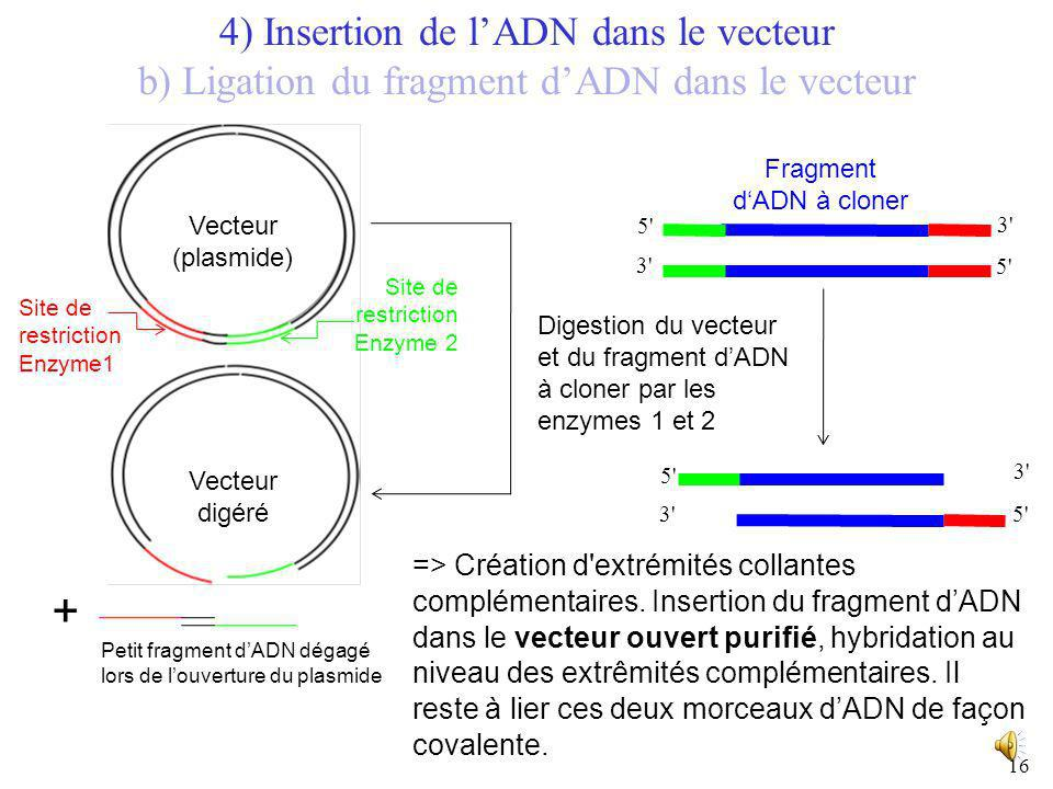 + 4) Insertion de l'ADN dans le vecteur