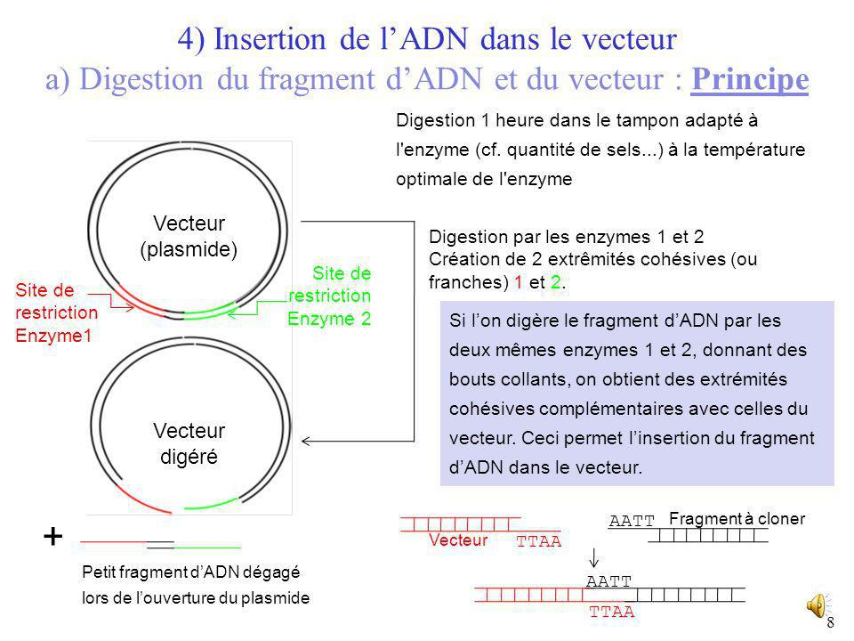 4) Insertion de l'ADN dans le vecteur a) Digestion du fragment d'ADN et du vecteur : Principe