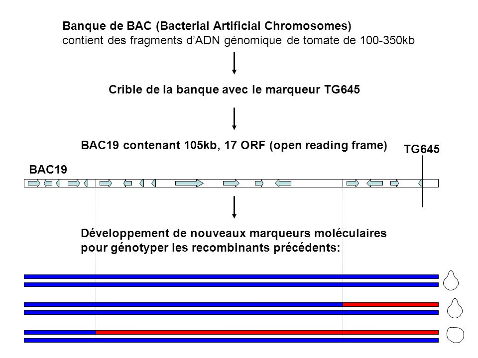 Banque de BAC (Bacterial Artificial Chromosomes)