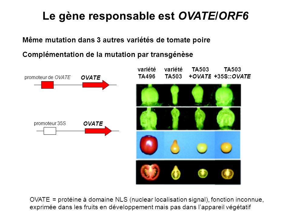 Le gène responsable est OVATE/ORF6