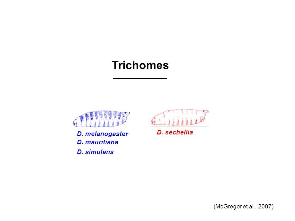 Trichomes D. sechellia D. melanogaster D. mauritiana D. simulans