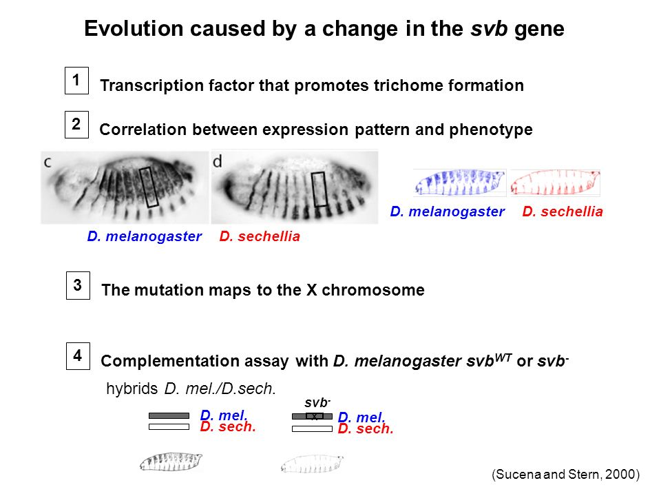 Evolution caused by a change in the svb gene