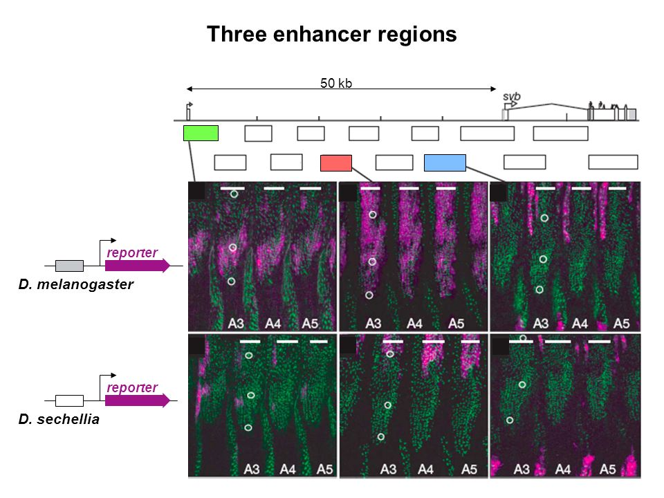 Three enhancer regions