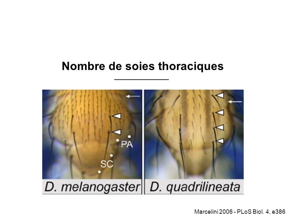 Nombre de soies thoraciques
