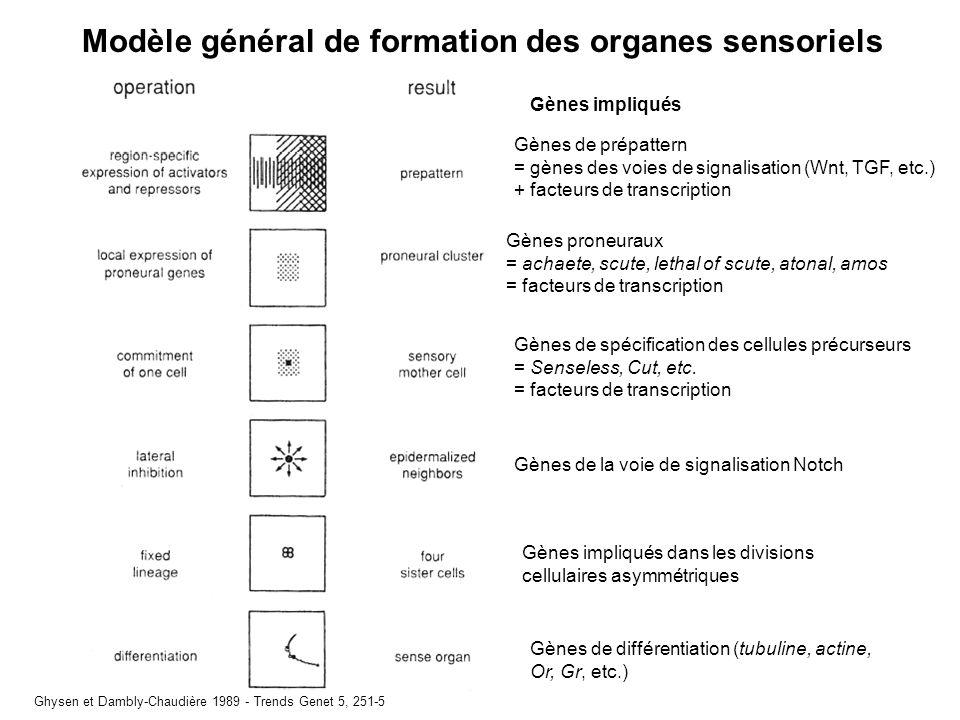 Modèle général de formation des organes sensoriels