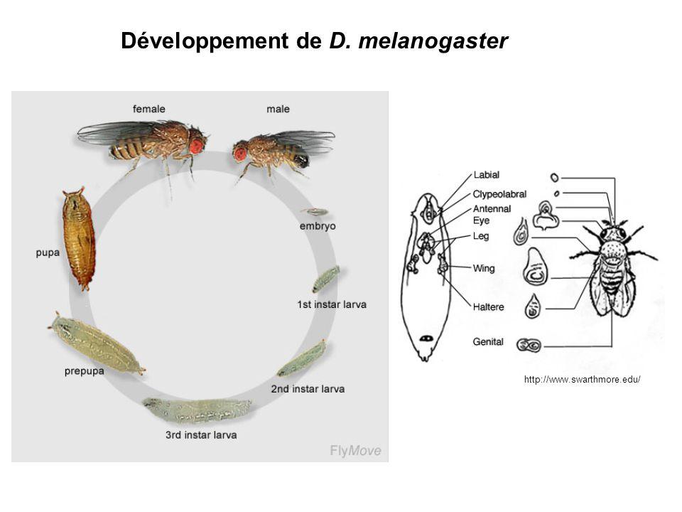 Développement de D. melanogaster