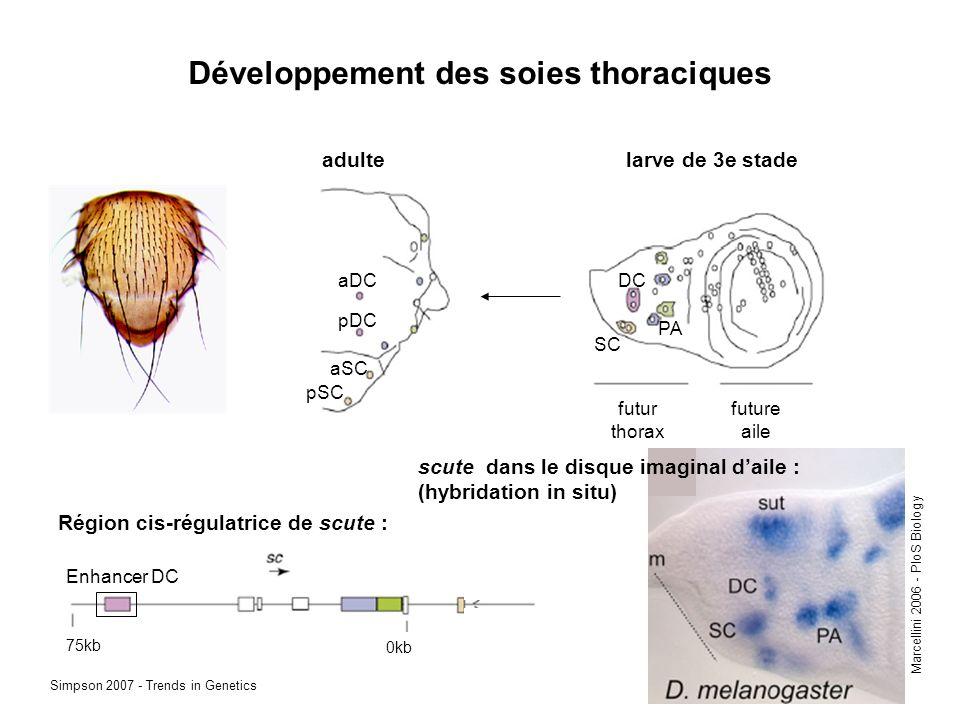 Développement des soies thoraciques