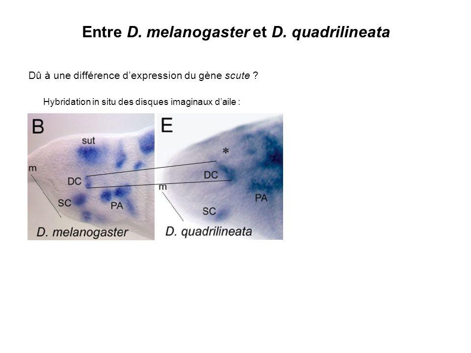 Entre D. melanogaster et D. quadrilineata