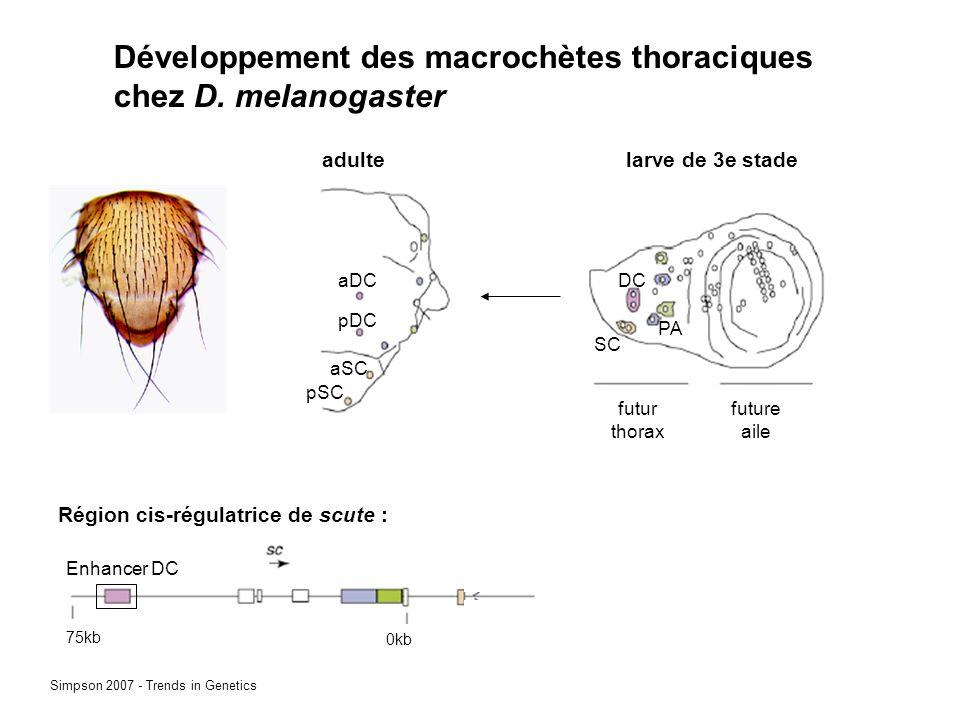 Développement des macrochètes thoraciques chez D. melanogaster