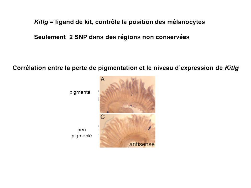 Kitlg = ligand de kit, contrôle la position des mélanocytes