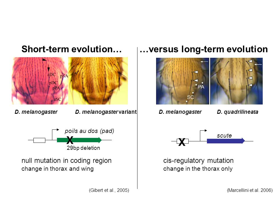 X Short-term evolution… …versus long-term evolution