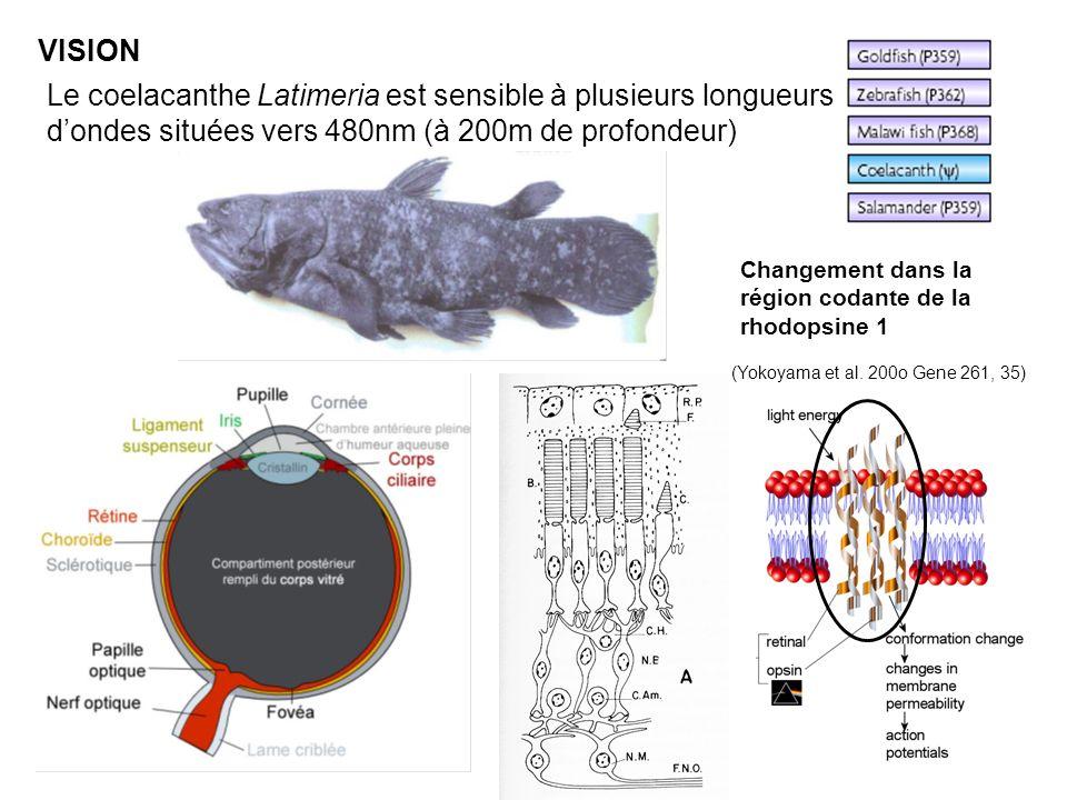 VISION Le coelacanthe Latimeria est sensible à plusieurs longueurs d'ondes situées vers 480nm (à 200m de profondeur)