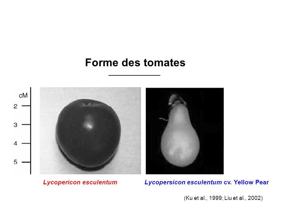 Forme des tomates Lycopericon esculentum