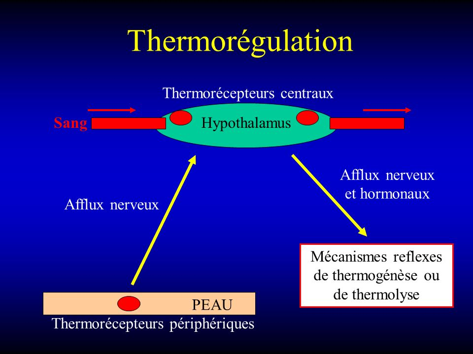 Thermorégulation Thermorécepteurs centraux Sang Hypothalamus