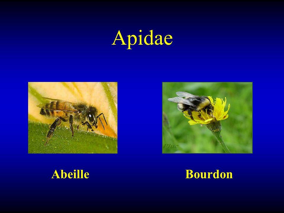Apidae Abeille Bourdon
