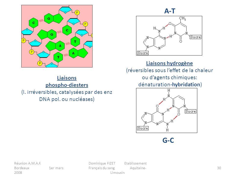 A-T G-C Liaisons hydrogène (réversibles sous l'effet de la chaleur