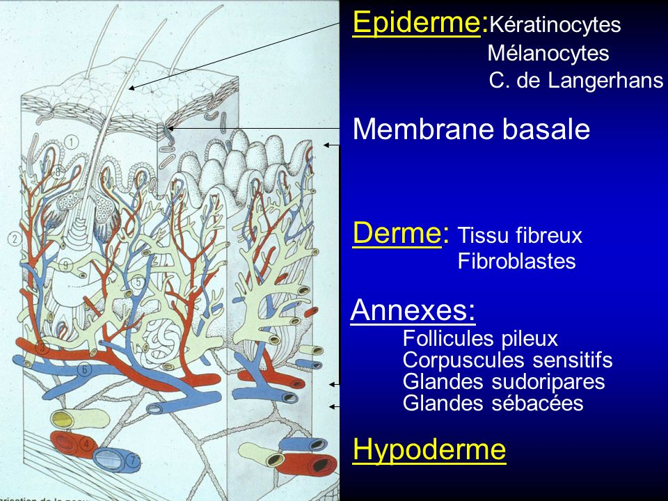 Epiderme:Kératinocytes Mélanocytes C. de Langerhans