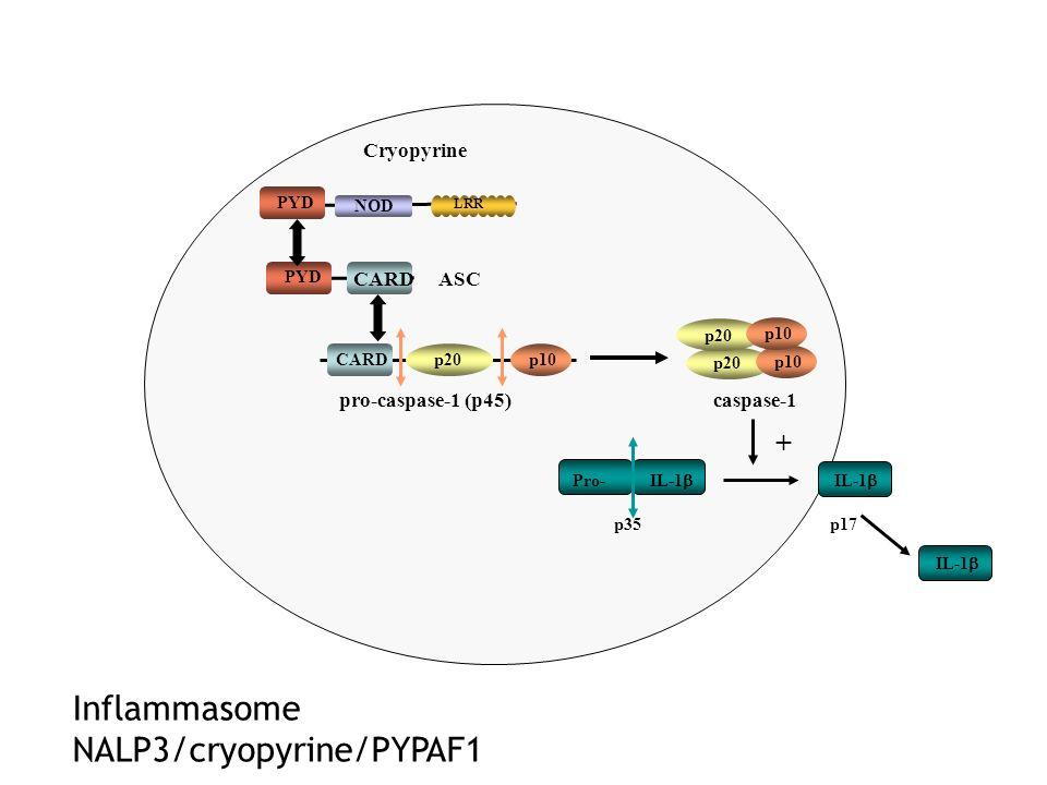 Inflammasome NALP3/cryopyrine/PYPAF1